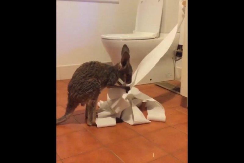 Watch: Baby kangaroo unrolls toilet paper, eats some of it