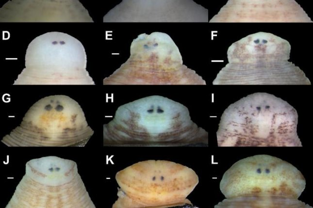 Scientists differentiate between different leech species by observing their different shapes and eye positions. Photo by Anna L. Klass