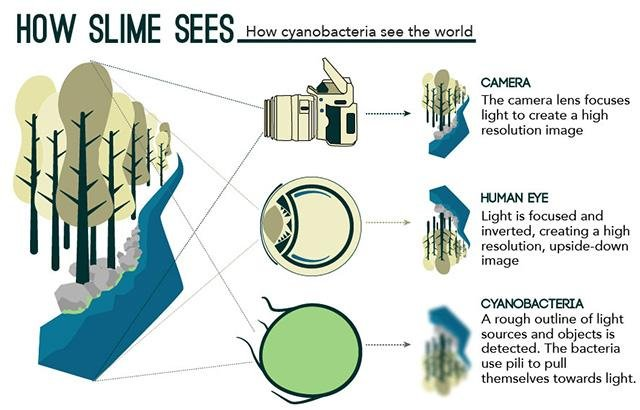Bacteria see the world like a single cell eyeball upi a diagram breaks down the differences between a human eyeball and the lens of a cyanobacterium cell photo by qmulelife ccuart Images