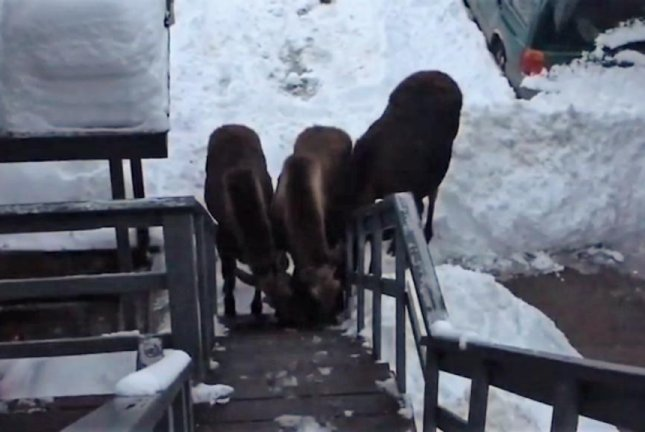 A mother moose and her calves visit a Colorado apartment building to lick the salt from the front steps. Screenshot: Storyful