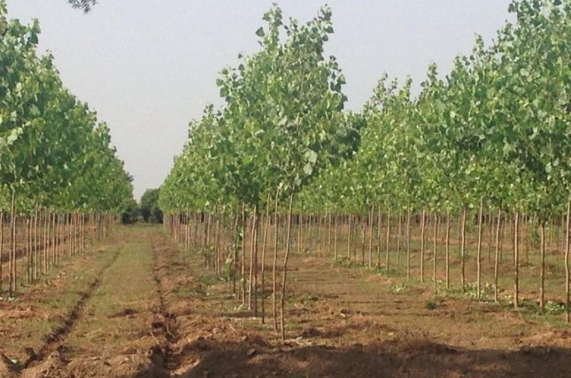 Researchers have developed genetically engineered poplar trees that don't emit any isoprene, a chemical that reacts with sunlight to produce ozone, a respiratory irritant. Photo by Wikimedia Commons/vikas bishnoi