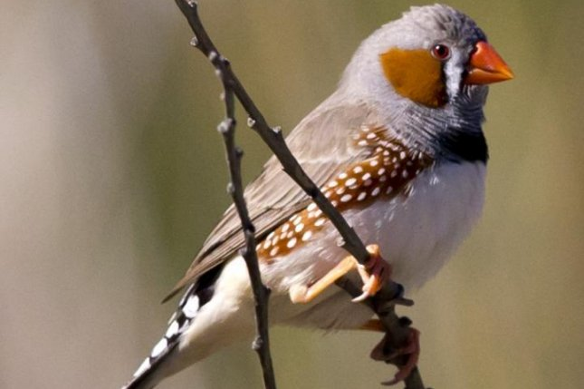 Zebra finches and other songbirds can control single muscle fibers during singing. Photo by Jim Bendon/Wikimedia Commons