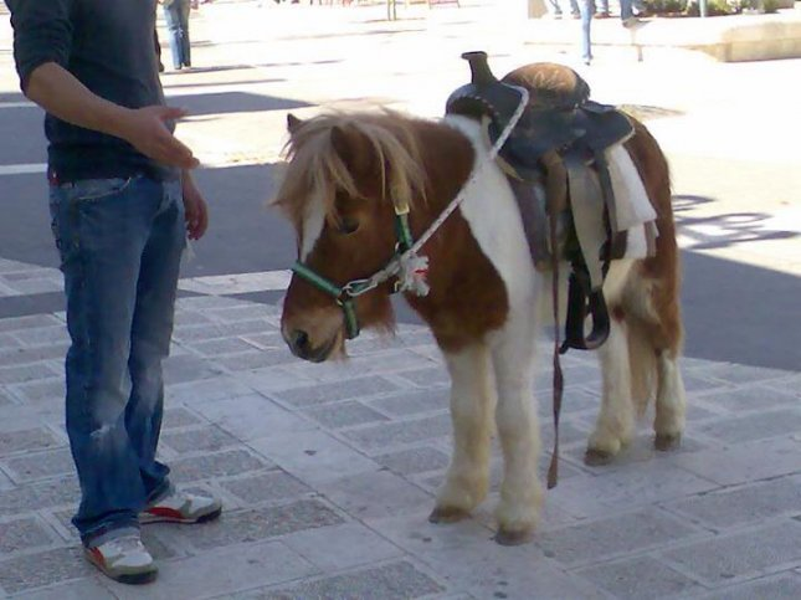 A Shetland pony. (CC/DannyW)