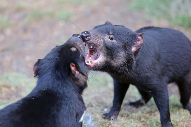 Tasmanian devils, known for their biting behavior, are at risk from a type of contagious cancer spread through bites that kills 100 percent of the animals it infects. Photo by Bernhard Richter/Shutterstock