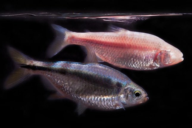The Mexican tetra exists in two forms: an eyeless variant adapted to dark caves and a seeing variant living in river surface water. Photo by Jaggard et al./eLife