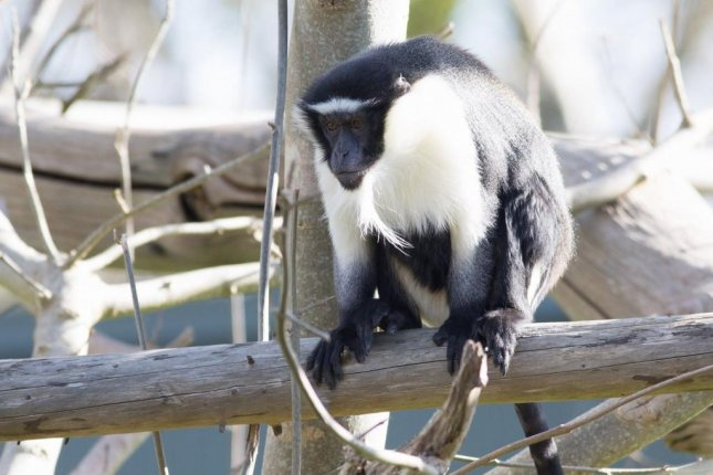 One of the Fota Wildlife Park's roloway monkeys escaped from its enclosure Tuesday and led zookeepers on a chase through the facility before being safely recaptured. Photo courtesy of the Fota Wildlife Park