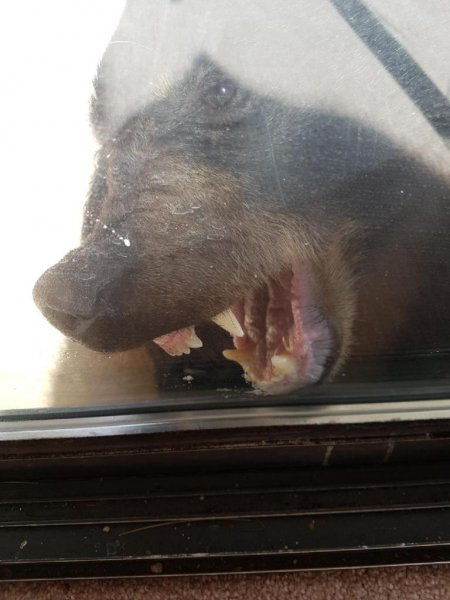 A large black bear attempts to reenter a British Columbia home after being forcibly ejected by a man who punched it in the face. Photo courtesy of the Sunshine Coast RCMP