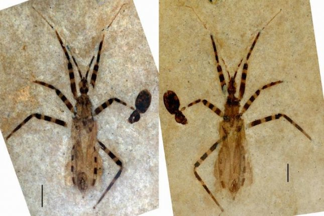 Recovered in Colorado, this fossil represents a new genus and species of predatory insects known as assassin bugs, which has been named Aphelicophontes danjuddi. Photo by Palaeontological Association
