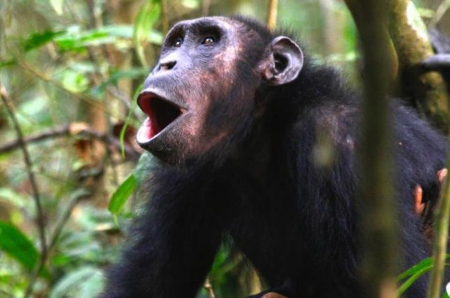Depending on the behavioral context, chimpanzees vocalize variants of the same 'hoo' call. Photo by Liran Samuni/MPG