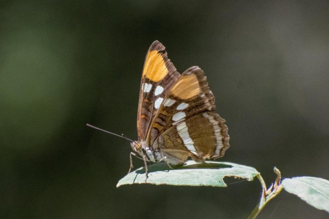 In a new study, scientists analyzed butterfly survey data collected at 72 locations on 250 species, finding there are fewer of the colorful insects fluttering around in the American west. Photo by Chris Halsch/ University of Nevada, Reno