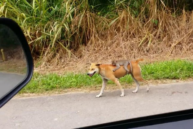 A Malaysian motorist captured footage of a baby monkey riding on a dog's back at the side of a road. Zainal Azman Hj Bidin/Facebook video screenshot