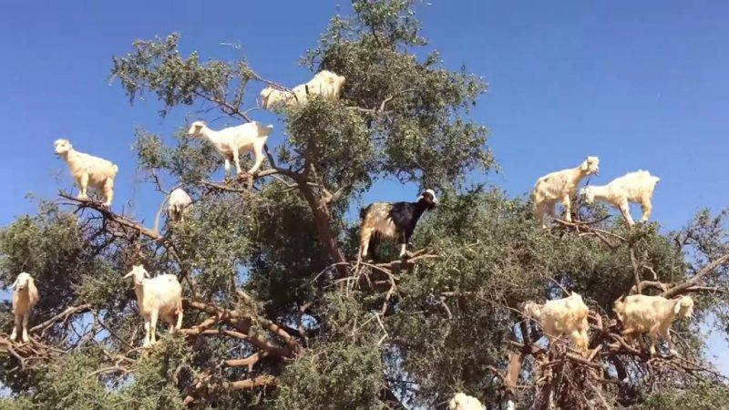 Kambing yang memanjat pohon di Maroko.