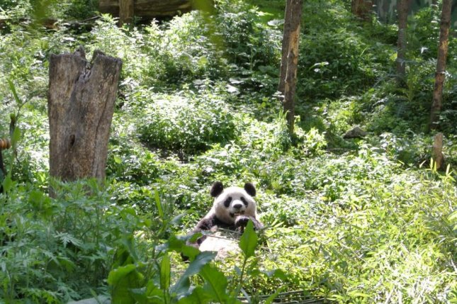 A panda munches on bamboo on a forest preserve in China. Photo by Sue Nichols/CSIS/Michigan State