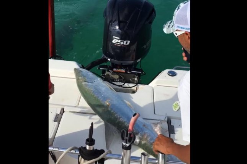 A tarpon flees a hammerhead shark by jumping onto a fishing boat. Screenshot: FOX 13 News - Tampa Bay/Facebook