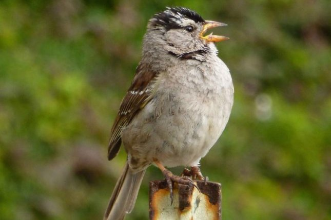 During lockdown in San Francisco, male white-crowned sparrows started singing quieter, sexier songs. Photo by Jennifer Phillips/California Polytechnic State University