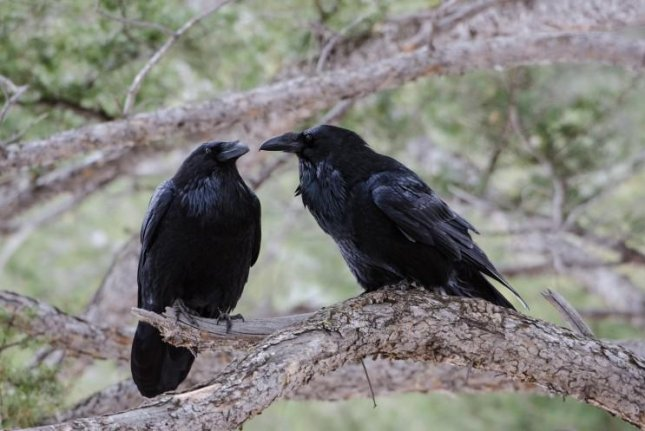 Scientists have found evidence of two distinct raven lineages combining to form one. Photo by John Marzluff/University of Washington