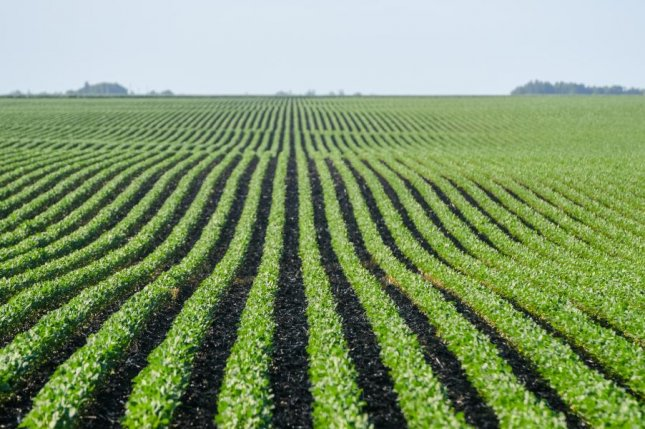 Rows of soybean plants line the Iowa countryside. Photo courtesy of Joseph L. Murphy/Iowa Soybean Association