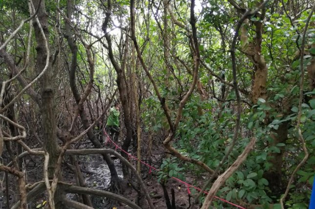 Researchers are pictured conducting a field survey in a mangrove forest on the Chinese island of Hainan, the results of which suggests greater diversity of species could help the forests store more carbon. Photo by Guanghui Lin