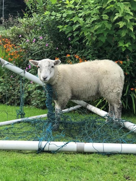 RSPCA Inspector Vicki McDonald responded to a Rossendale, Lancashire, England, home where a sheep became entangled in an unattended soccer net. Photo courtesy of the RSPCA