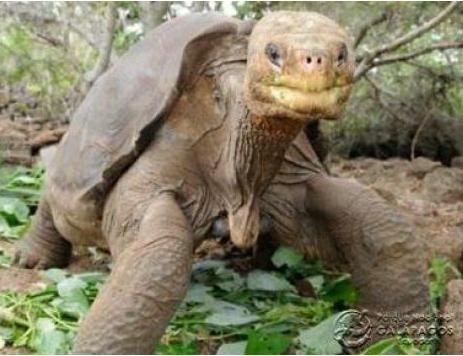 Lonesome George. Credit: Galapagos National Park Service