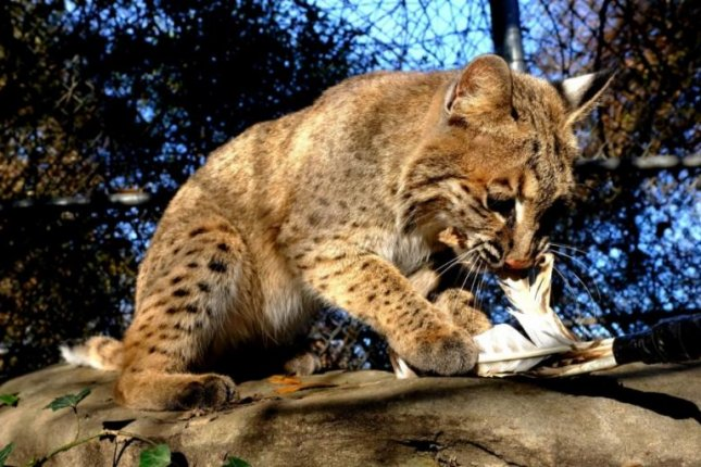 A bobcat that was feared stolen from a Tennessee nature center in a Monday night break-in is now believed to have resisted her would-be cat-nappers and escaped into the wild. Photo courtesy of Reflection Riding Arboretum & Nature Center