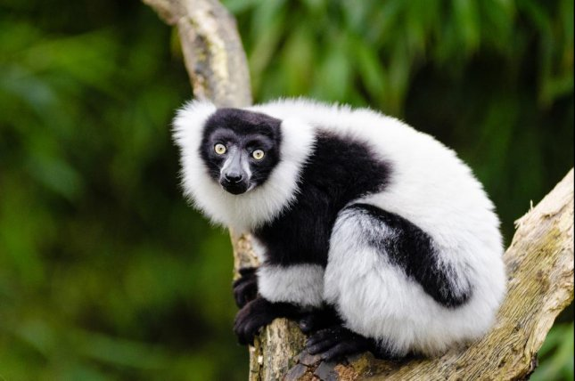 The seed dispersal benefits provided by lemurs are essential to the regeneration success of Madagascar's largest hardwood tree species. Photo by Mathias Appel/Rice
