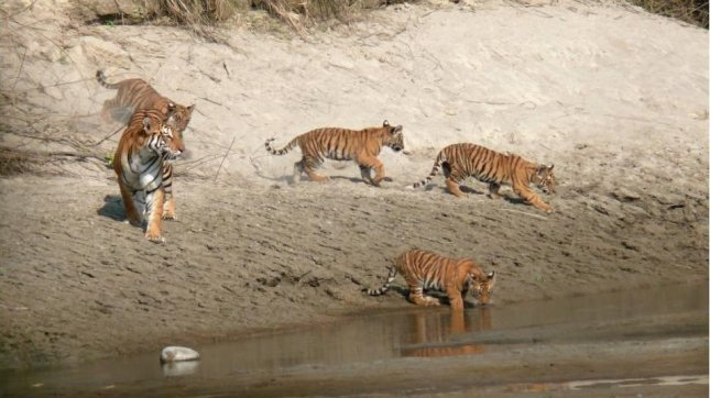 Tigers enjoying in Bardia National Park, in south-west Nepal
