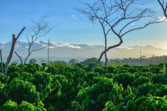 A study published Wednesday shows that crop diversity could help offer this crop shade since it's sensitive to heat. Pictured, a single-crop system that exposes coffee crops directly to the sun. Photo by Nick Hendershot/Stanford University