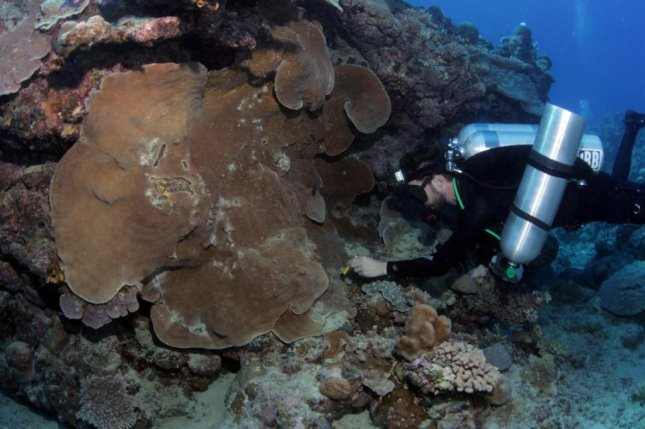 Researcher Norbert Englebert is pictured collecting samples from a Pachyseris speciosa colony as part of research that found that understanding the hidden diversity of coral is essential to its conservation. Photo by Pim Bongaerts/California Academy of Science