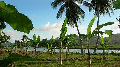 Deforestation Forces Haitians To Reprioritize Palm Tree Traditions