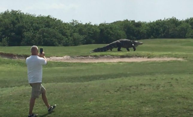 A massive alligator was spotted walking across the green at Buffalo Creek Golf Course in Palmetto Fla. Charles Helms, 56, and his friend David Matos captured footage of the gator. Course employee Wendy Schofield said the gator was a common sight on the course and has not been known to threaten golfers. 