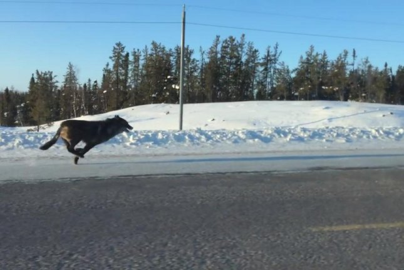 A wolf runs next to a car in Canada's Northwest Territories. Screenshot: JukinMedia