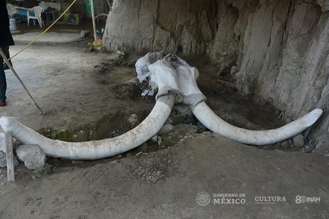 Researchers unearthed the remains of 14 mammoths inside human-made traps in Mexico. Photo by Edith Camacho/INAH.