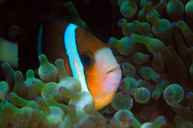The UV light-reflecting stripes and UV light-absorbing eyes of anemonefish help the reef fish recognize their friends and family. Photo by Justin Marshall/University of Queensland