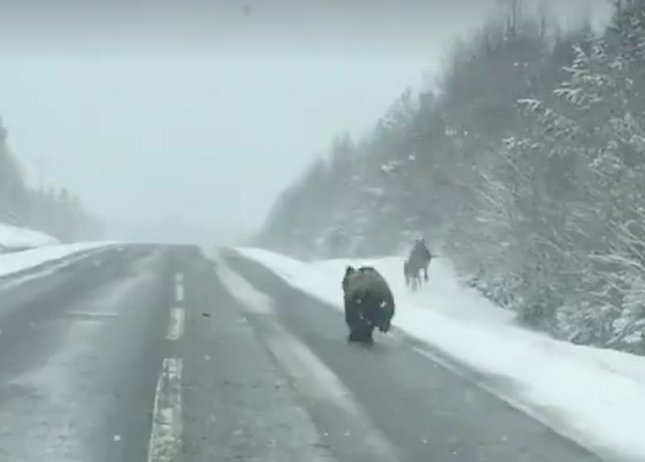 A Swedish man inadvertently saved a pair of elk from a bear as he drove past the trio on a snowy road.  Husse Jan captured video of the encounter after he initially thought he had seen three elk.  Screen capture/Husse Jan/Instagram
