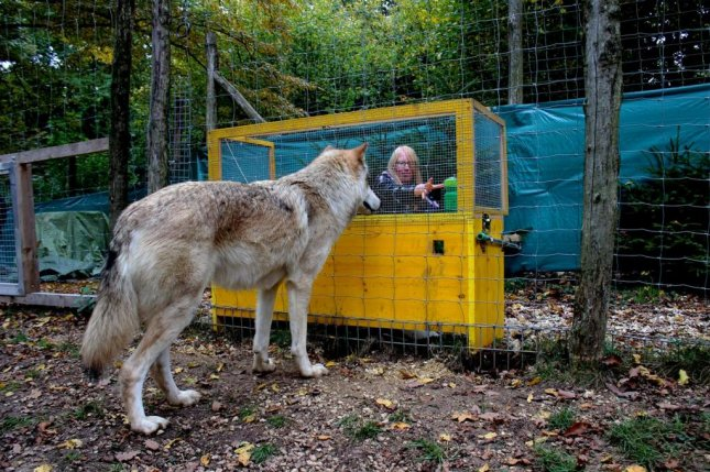 A recent study from the Wolf Science Center of the Vetmeduni Vienna have shown that wolves understand the connection between cause and effect better than dogs. Photo courtesy Michelle Lampe/Wolf Science Center