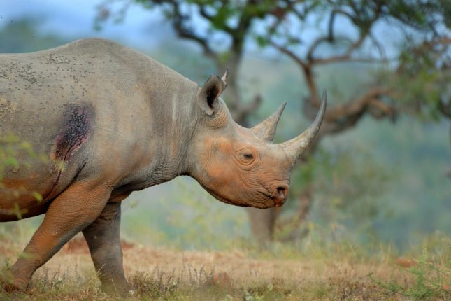 A black rhino is pictured roaming Hluh-luwe-iMfolozi Park, in South Africa, without the companionship of a red-billed oxpecker. Photo by Dale R. Morris