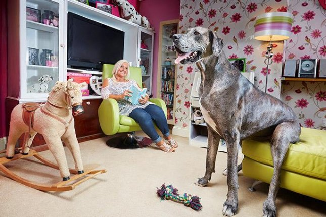 Freddy the Great Dane, shown with owner Claire Stoneman, known as the tallest dog in the world, has died. Photo courtesy of Guinness World Records
