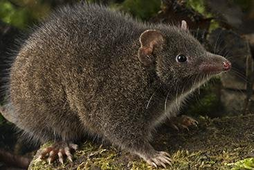 Researchers have discovered the Tasman Peninsula Dusky Antechinus, which spends mating season coupling with as many females as possible and then dies soon after. The marsupial may be placed on the threatened species list in Australia because of climate change, feral predators and development that has encroached on its habitat. Photo: Queensland University of Technology