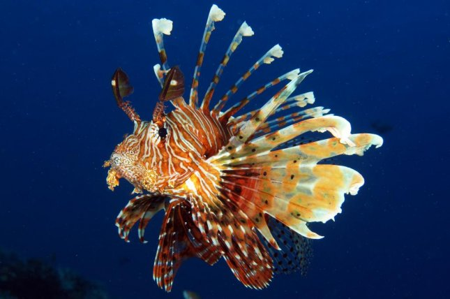 Lionfish are one several groups of ocean-dwellers that produce and use venom. Scientists say fish venoms could be a source for medicinal compounds. Photo by LauraD/Shutterstock