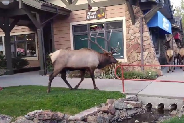 A bull elk follows his female companions though an Estes Park, Colo., shopping center. Screenshot: John Burns/Facebook