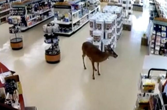 A deer ran around a Pennsylvania paint store after crashing through the front window on Thursday. After wandering the store the deer walked out the front door and into the woods. Screen capture/WNEP
