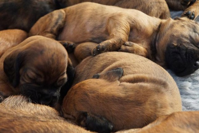 A mother dog in Britain may have set a new world record when she gave birth to 21 puppies naturally. File Photo by e2grafikwerkstatt/Pixabay.com