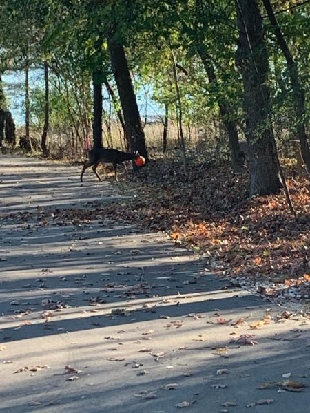 Animal rescuers in Wisconsin said a deer spotted wandering for several days with a plastic Halloween pumpkin stuck over its face was rescued with help fromPewaukee residents. Photo courtesy of theHumane Animal Welfare Society of Waukesha County