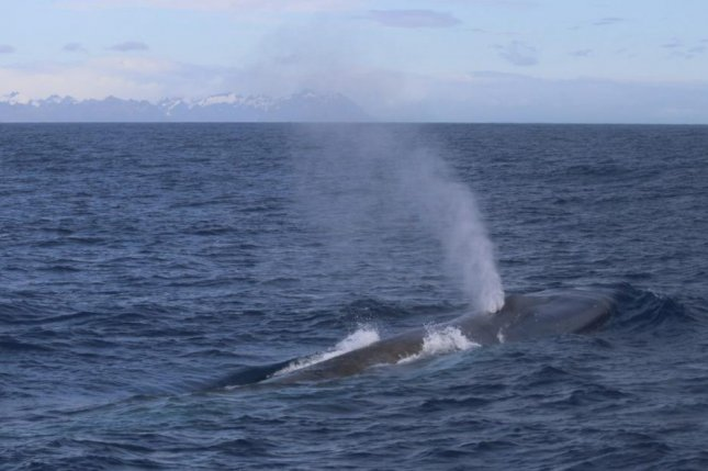 During an expedition in February, scientist spotted a few dozen blue whales off the coast of South Georgia. Photo by Russell Leaper