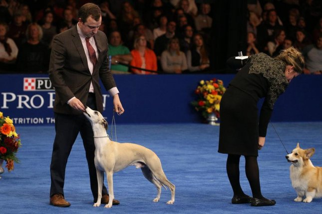 Handler Justin Smithey and his Whippet Whiskey. Whiskey was named Best in Show at the National Dog Show in Philadelphia Thursday. Photo by Bill McCay/NBC