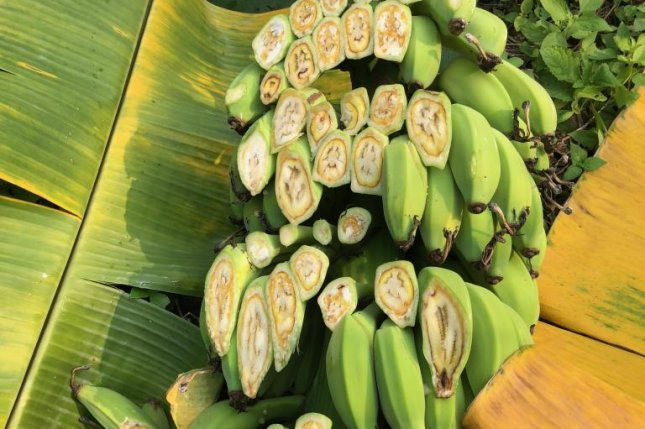 A fungal pathogen is pictured destroying a bunch of bananas in Java, Indonesia. Photo by Clare Thatcher