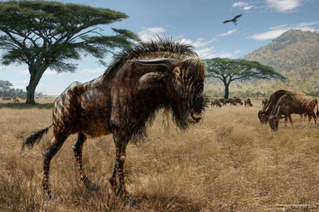 An artistic rendering of the Rusingoryx atopocranion, an extinct wildebeest-like animal that grazed the grassy plains of what is modern day Kenya. Photo by Baylor University