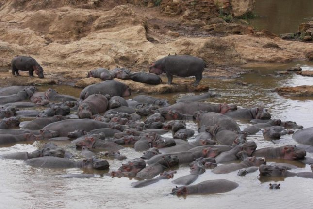 Decomposing hippo waste can trigger the development of low-oxygen zones that can kill fish when washed downstream. Photo by Christopher Dutton/Yale University