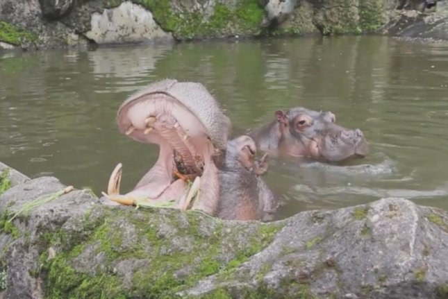 A hippo catches carrots thrown by tourists in Indonesia. Screenshot: Storyful
